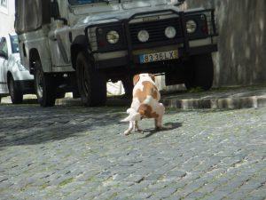 ポルトガル犬