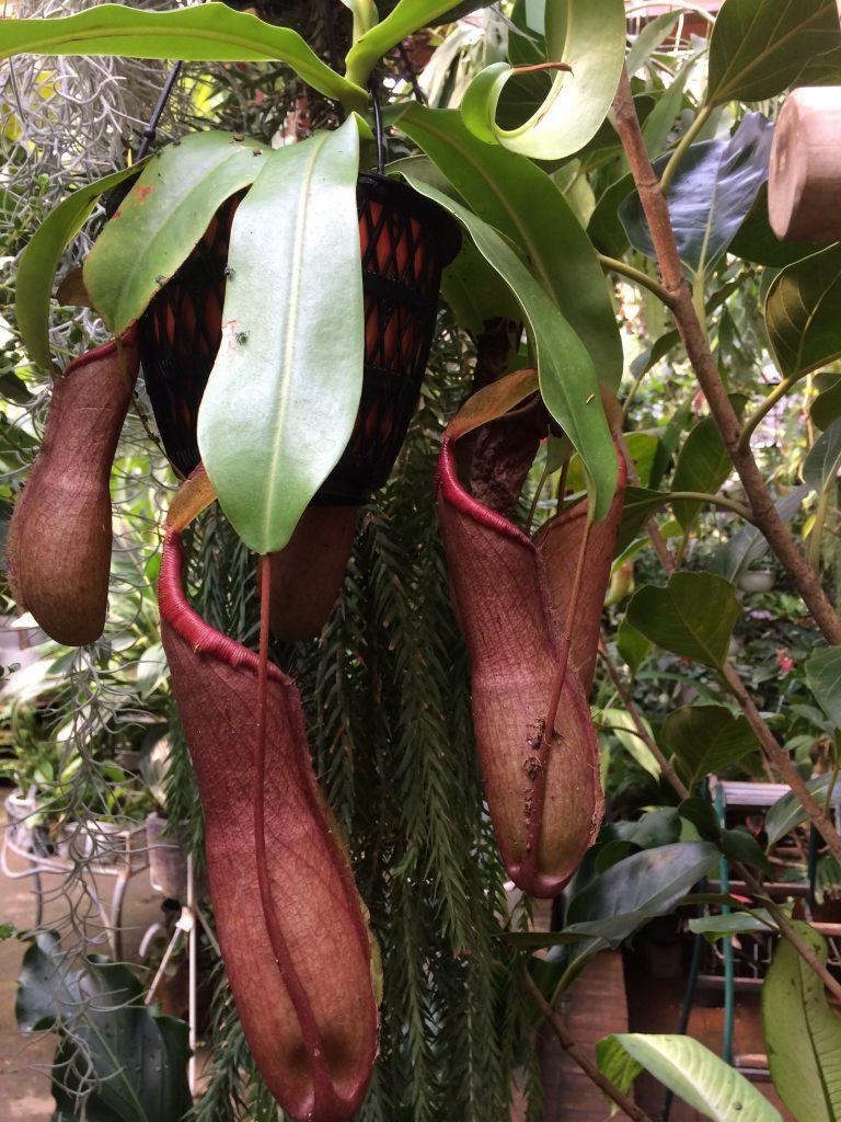ソルソ 食虫植物